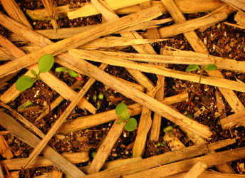 plants emerging from woodstraw